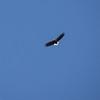 White-tailed Eagle, Haliaeetus albicilla, Havsörn