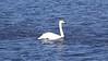 170328_Whooper_Swan_HD