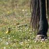 Yellow Wagtail, Motacilla flava, Gulärla