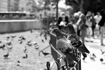 Pidgins At Notre Dame de Paris - Paris, France