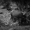 Asian Water Buffalo, Vietnam