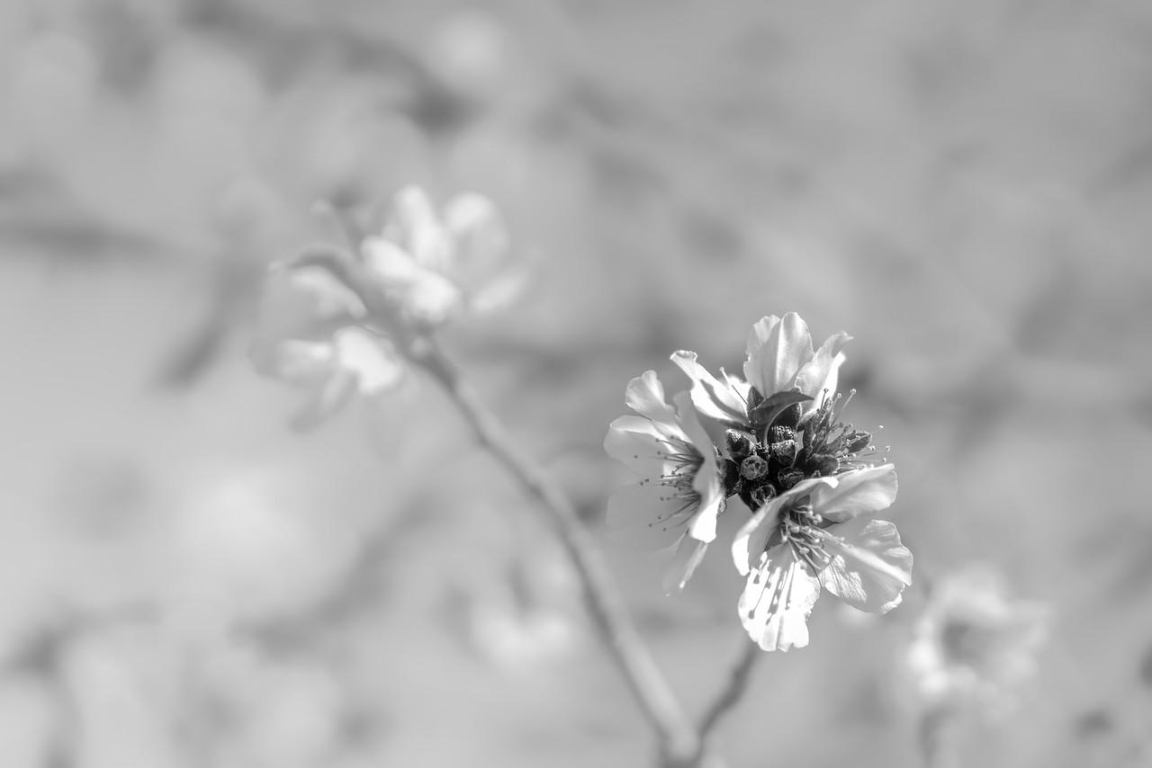 20170104KW_LN_BW_Almond_Tree_Blossom-2