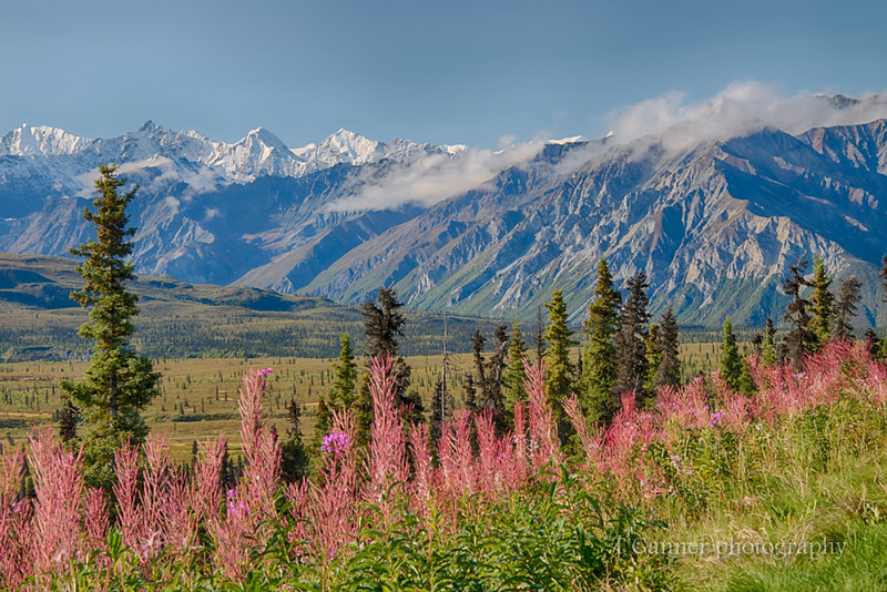 Fireweed adding color to an already splendid day along the Glenn Highway
