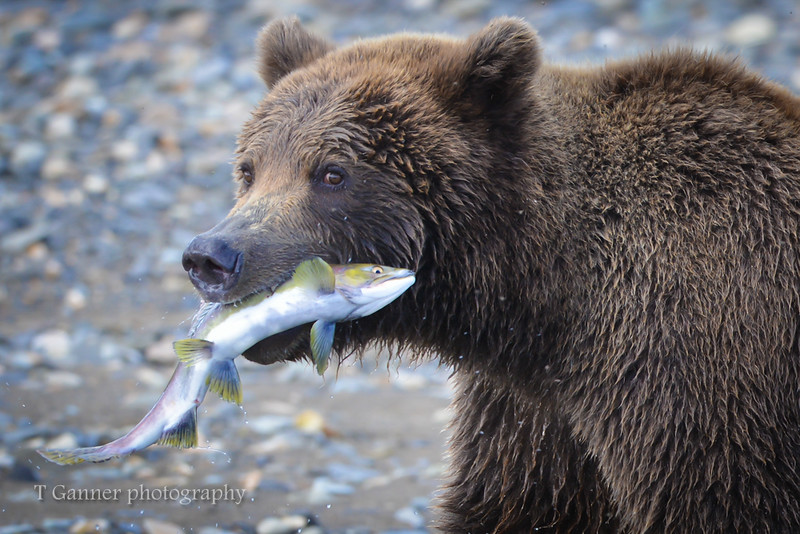 This happy bear might have been eating better than we were