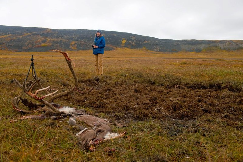 Caribou remains on the Tundra. This caribou had been taken down by a grizzly bear a few days before. The disturbed ground between Carolyn and the hide is presumably where the bear buried the gut pile and edible remains.