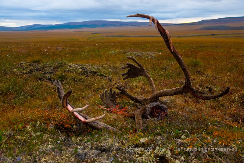 Caribou antlers on the tundra