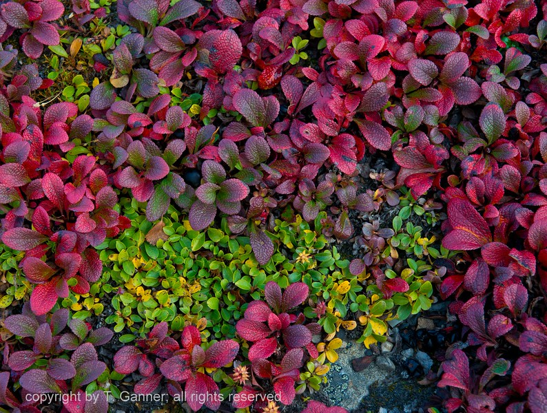 Bear berry in autumn splendor