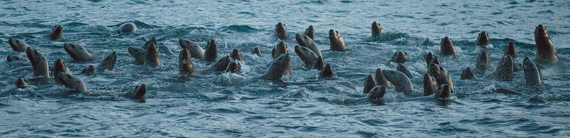 Sea lions love to feast on the hooligan run. Sea lion video can be enjoyed at: https://timenspace.smugmug.com/Collections/Blogs/Videos/Here-come-the-Hooligan/i-53HxFxp/A