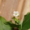 SAJ0492 Trigonotis inoblita