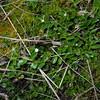 SAJ1295 Trigonotis papuana