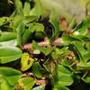 SAJ0621 Trigonotis borneensis