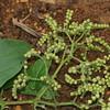 SAJ0044 Tournefortia sarmentosa