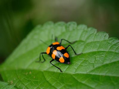 ? Beetle