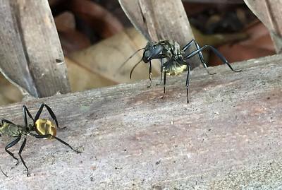 Golden carpenter ant (Camponotus sericeiventris)