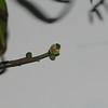 SAJ0056 Protium macgregori
