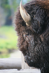 Bison, Close