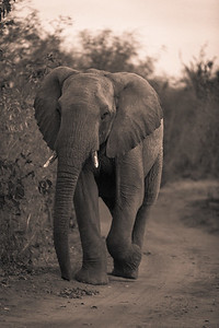 Elephant Bull Strolling Down the Road BW