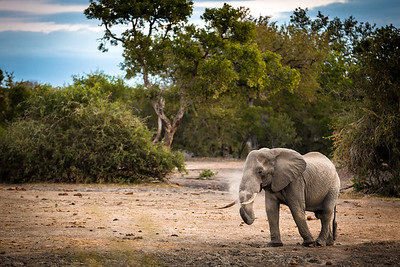 Bull HDR, Elephant