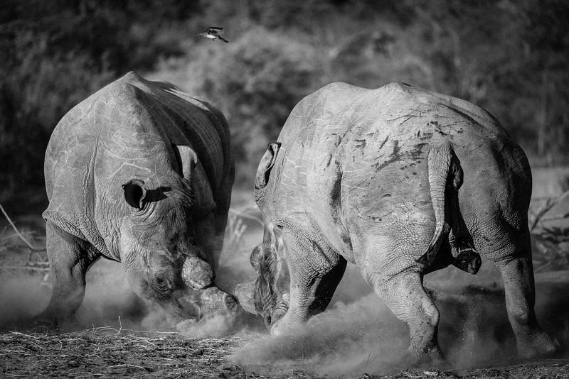 War of Rhino - Rukiya