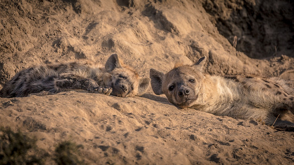Lazy Hyena Afternoon