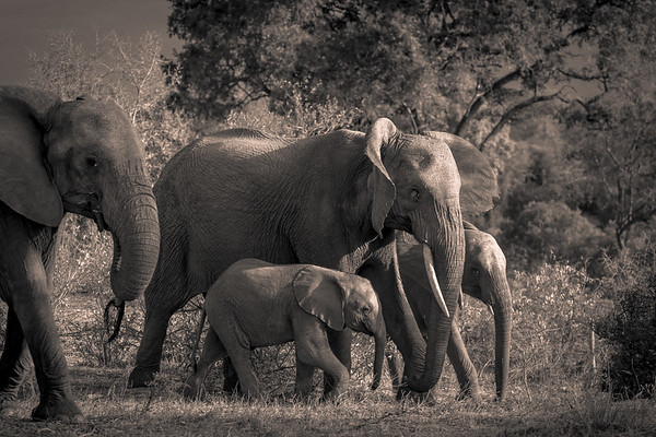 Elephant Family, BW