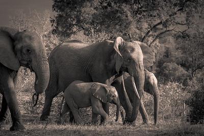 Elephant Family, BW