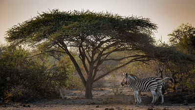 Zebra Under The Fikius  - Rukiya