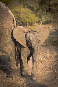 Young Elephant Displaying