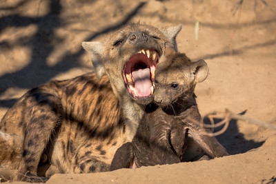 That's Enough Junior, Hyena