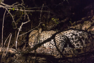 Male Leopard at Night 2