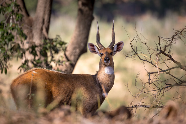 Bushbok Stag, Blyde River - Rukiya