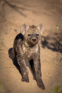 You Woke Me Up, Hyena Pup