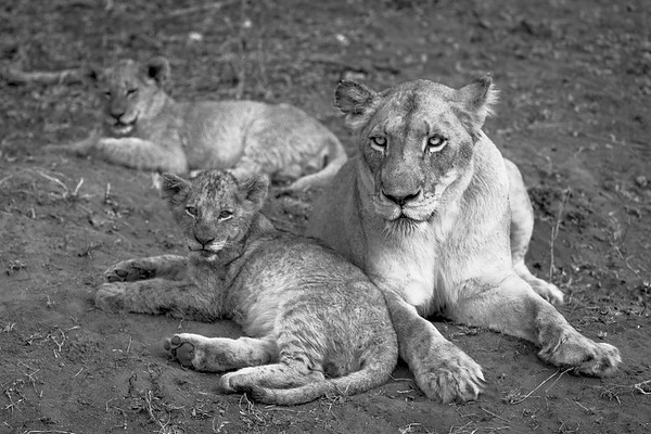 Lioness and Cubs BW