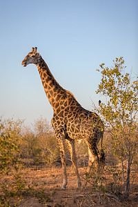 Giraffee at Dawn