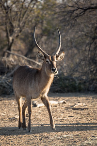 Waterbok Stag - Rukiya
