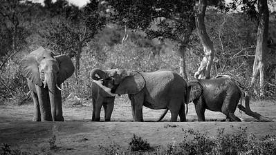 Afternon Bath, Elephants at Umlani