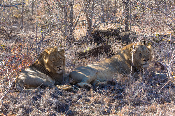 The Boys, Young Male Lions