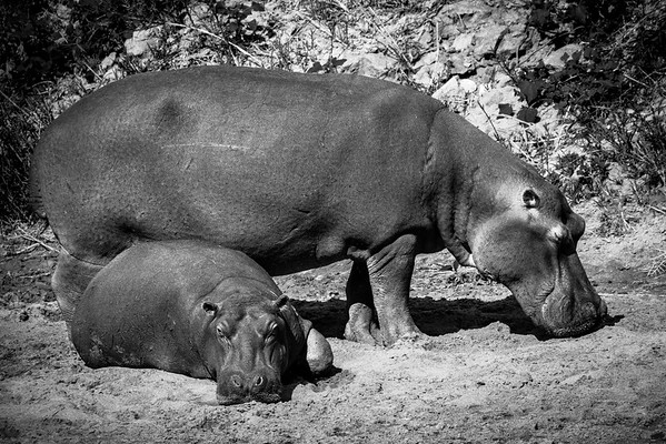 Hippo Young and Old - Rukiya