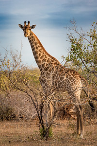 Giraffe, Welcome to Africa