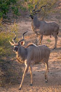 Kudu Bull Pair