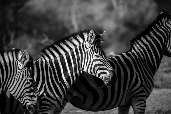Zebra Trio - Rukiya