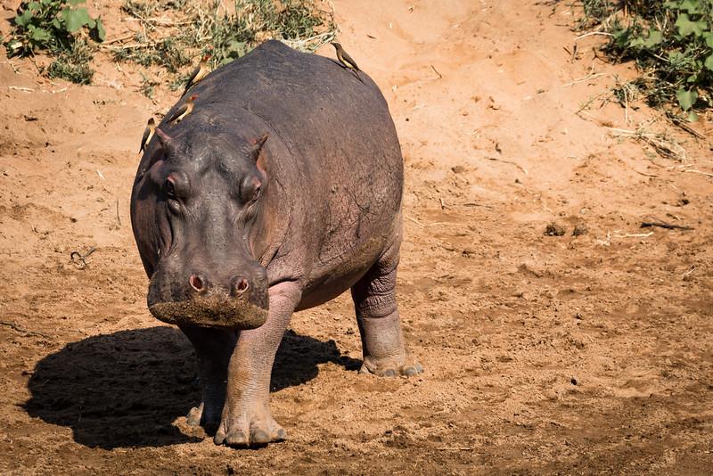 Hippo - Rukiya