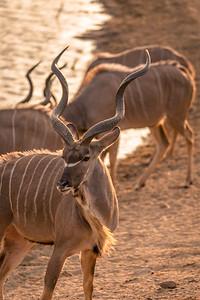Kudu Bull Portait