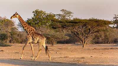 Giraffe On the Plane - Rukiya