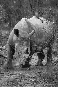 Rhino Black and White in the Bush