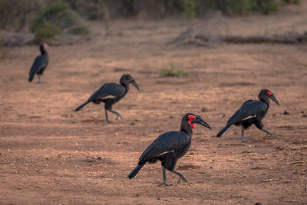 Mob of Ground Hornbill