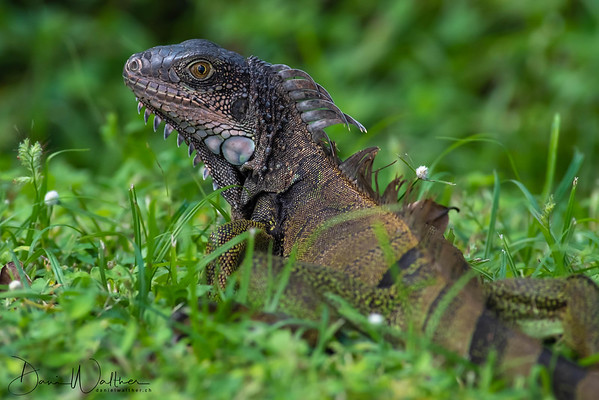 Eyecontact with a Green Iguana