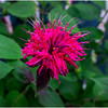 New Paltz NY Bee Balm 1 July 2017