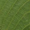 SAJ1042 Gironniera celtidifolia
