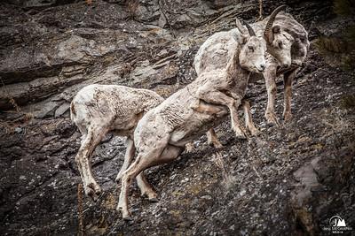Bighorn Scuffle